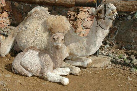 大加那利岛Arteara骆驼公园骆驼骑午餐和转移