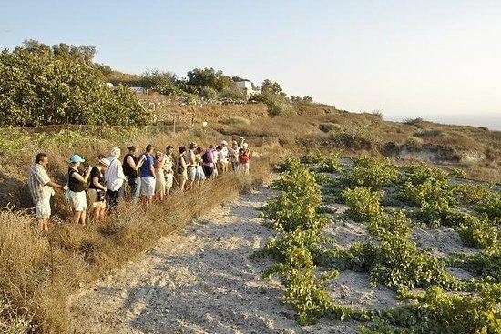 Santorini vinsmagning og historie tur