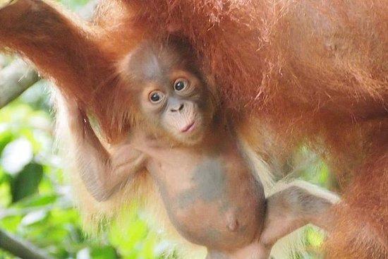 6 Day North Sumatra Jungles...