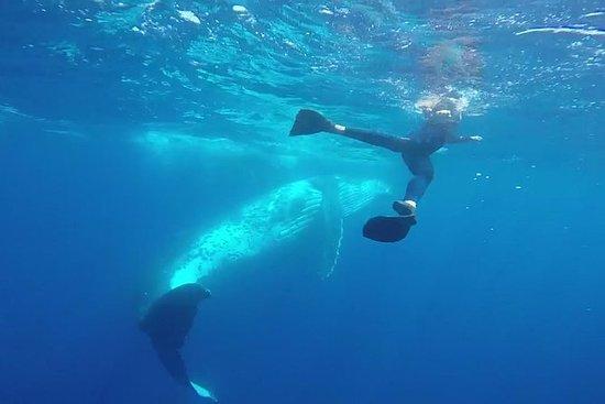 Experiência de baleia jubarte de Tonga
