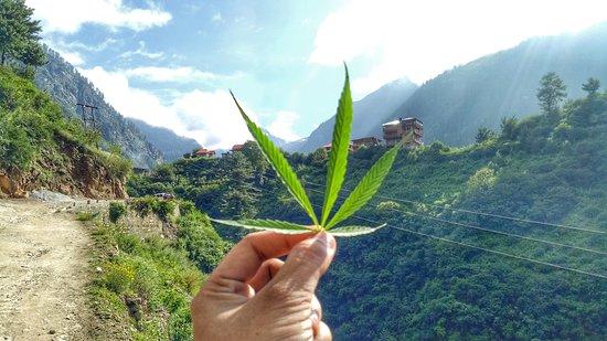 Tosh, Indien: dream plant