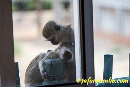 Cougars incontri in Kenya