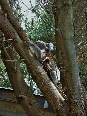 Great Ocean Road Visitor Information Centre: Koala escaping up a tree outside the Information Centre