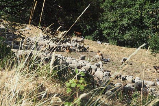 Tebaida Berciana: Rebaño de ovejas en el valle de Friguera