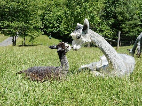 Landmark Farm Alpacas