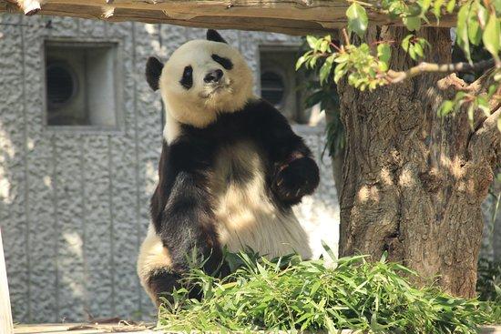 Kobe Oji Zoo: 棚の上の竹に手を伸ばすために立ち上がったパンダ