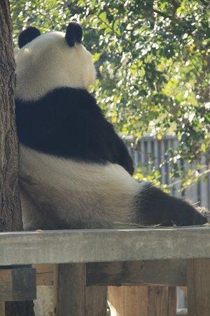 Kobe Oji Zoo: 食後の休憩中のパンダ