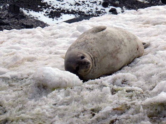 South Pole: Crabeater seal in Antarctica #gabrielaaufreisen #seal