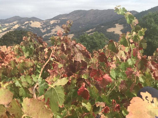 Redwood Valley, CA: Powicana in October, during the  harvest.