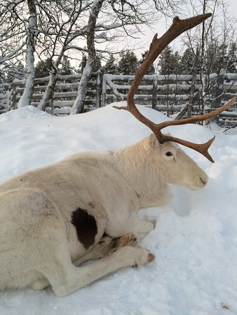 This one is called Spot. In this picture he has just one antler. They drop their antlers every year. New ones grow back fast.