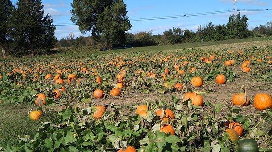 Davidsonville, MD: Pumpkin patch