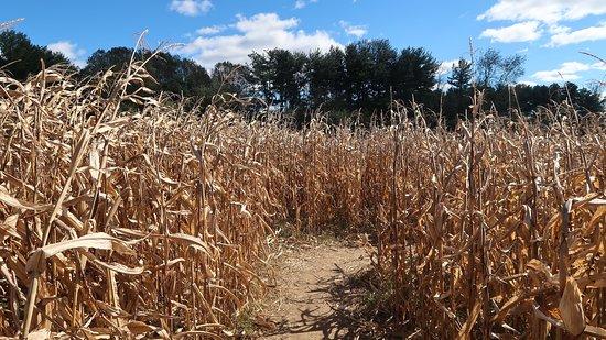 Davidsonville, MD: Corn maze