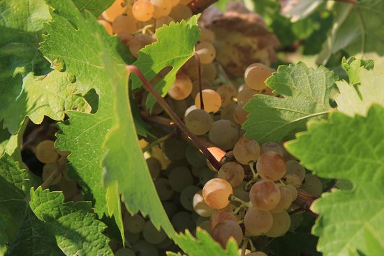 Fermoselle, Spanyolország: White grapes, waiting to be harvested