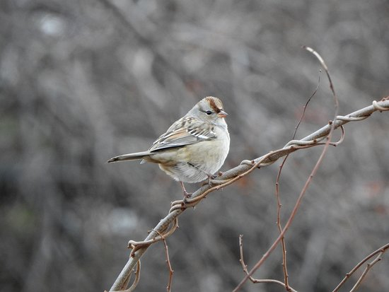 Barrington, Νιού Χάμσαϊρ: Juvenile White-crowned Sparrow observed on the Marginal Way in Ogunquit, ME.