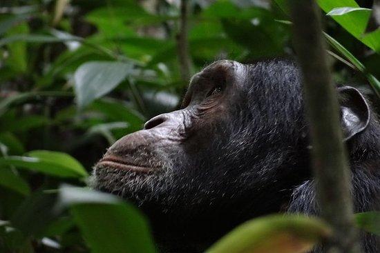 Gorilla Tracking Uganda und Ruanda