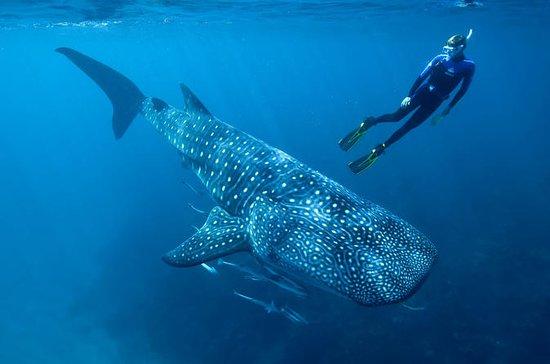 Tours de tiburones ballena de Cancún