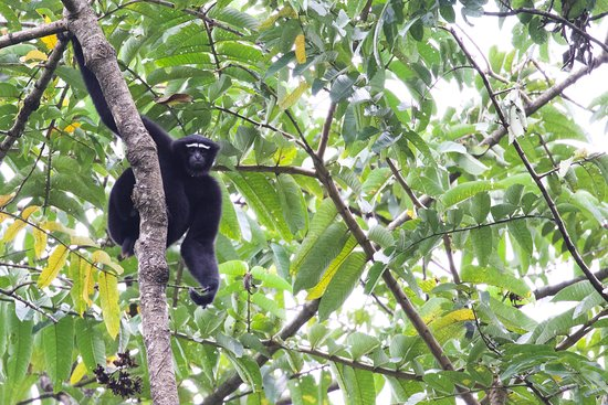 Namdapha National Park, Indien: Hoolock Gibbon male #2
