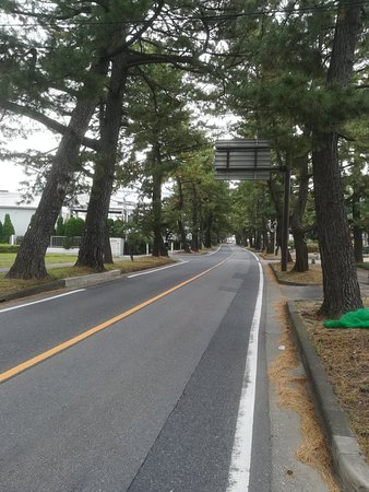Row of Pine Trees in Kyutokaido
