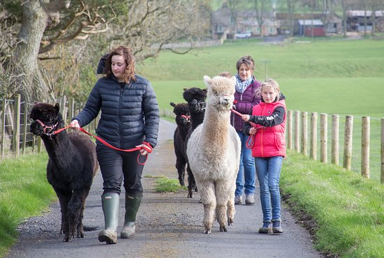 Хексхам, UK: Walking the alpacas on halters in a safe environment