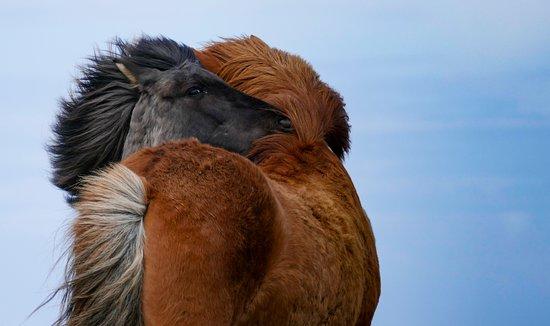 Westmann Islands, Ισλανδία: Icelandic horses grooming one another