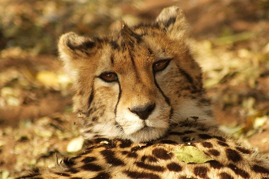 Valokuva: Ann van Dyk Cheetah Centre