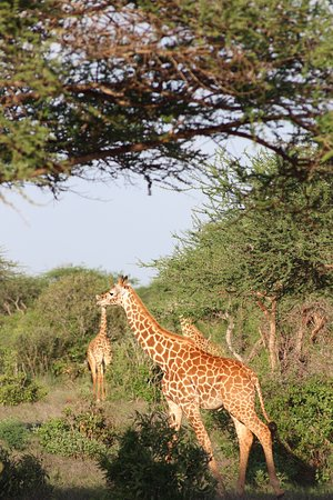 Aqua Paradise Safaris Day Tours: Giraffe