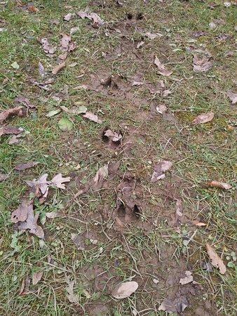 Saint Louisville, OH: Deer tracks