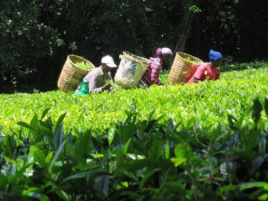 Kiambethu Farm Foto