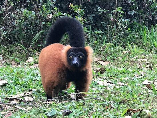Мадагаскар: Red Ruffed Lemur