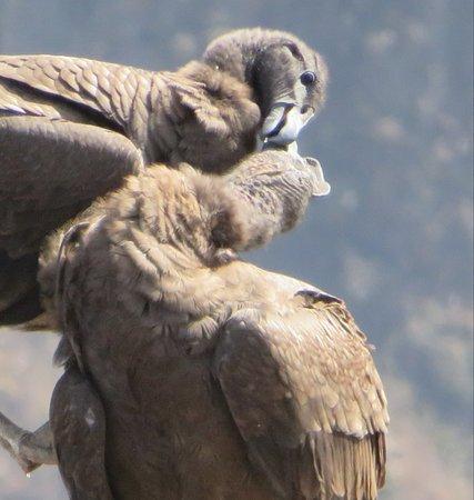 Colca Canyon, Peru: 2 jonge condors.