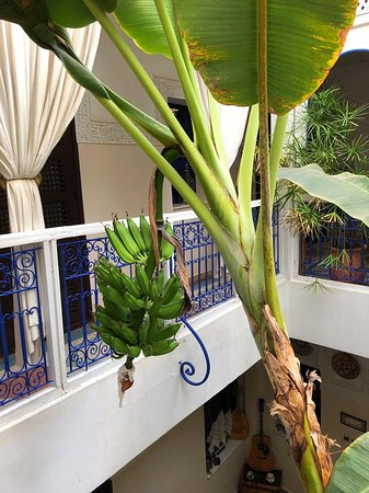 Riad Abaca Badra: Bananas from their banana tree
