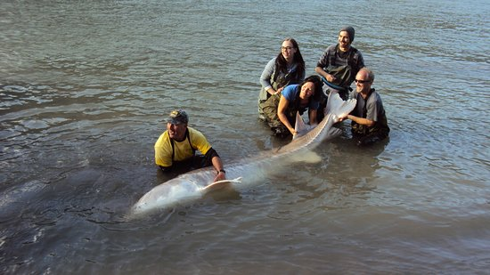 Chilliwack, Canada: Nearly 800 pounds and 11 feet long - catch and release of course!