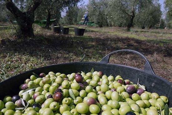 Excursão Fazenda Azeite de Sevilha