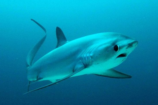 Thresher Shark Dive from Malapascua Island