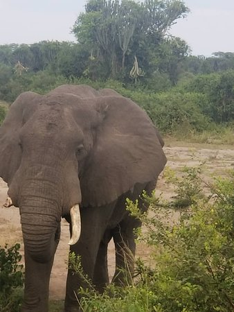 Elephant at kidepo valley National park