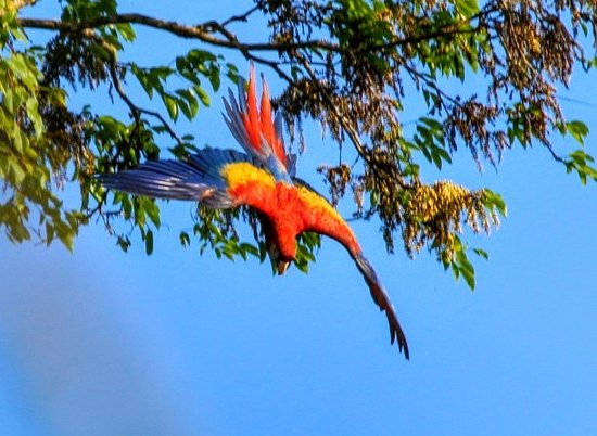 Stann Creek, Belize: Scarlet Macaws feeding in their natural habitat, peaceful and undisturbed.