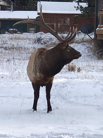 Beautiful elk in Estes Park where the guide drove us - he knew there was a great possibility of seeing wildlife in that particular area of town.