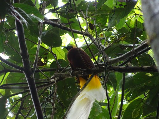 jungle tour  birding west papua sorong birdwatching