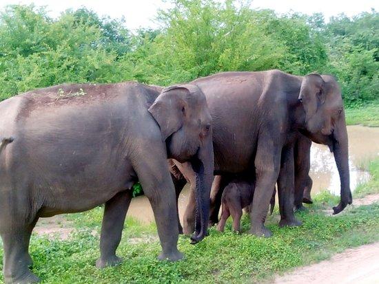 Национальный парк Уда-Валаве, Шри-Ланка: éléphants avec un bébé