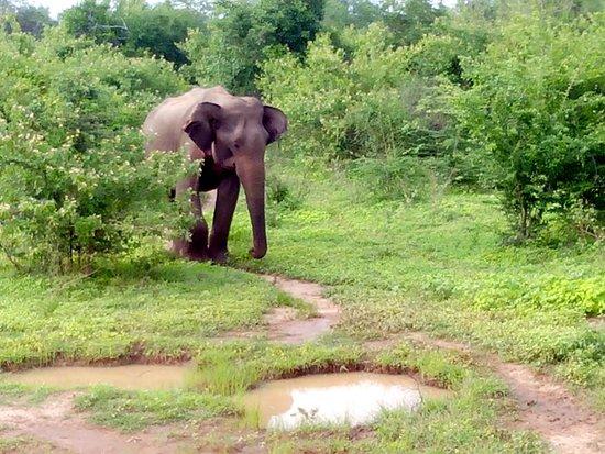 Национальный парк Уда-Валаве, Шри-Ланка: éléphants 5