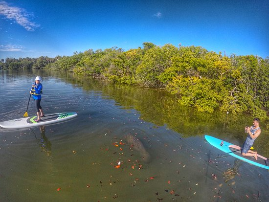 21733a9703fc South Florida Paddle: Enjoying a mama and her manatee calf a paddle board  Eco Tour