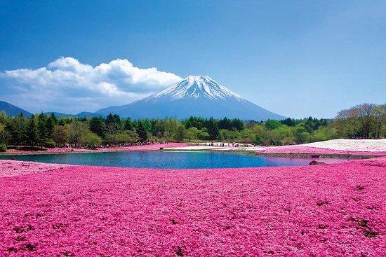 Fuji Shibazakura Festival & Mt. Fuji