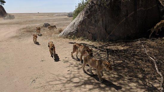 Udaay Safari & Tours (T) Ltd: A Pride in Serengeti
