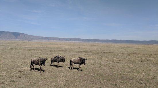 Udaay Safari & Tours (T) Ltd: Wildebeest of Ngorongoro crater