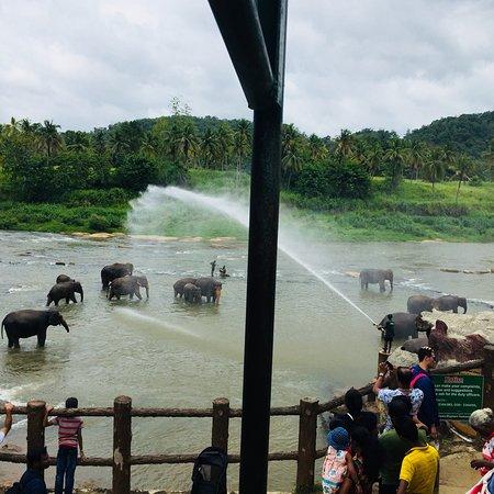 Pinnawala Elephants Orphanage  Daily river bathing time