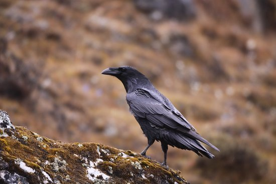 #RAVEN  #National_Bird_of_Bhutan It is the most prominent component of the #royal_crown. It represents one of the most powerful #deities of the country, #Gonpo_Jarog_Dongchen, raven headed Mahakala. Raven is thus known in local language as #JAROG. Among all the birds #Raven can speak better than Parrots, enjoy playing in the snow, make their own toys and do weird thing with Ants.