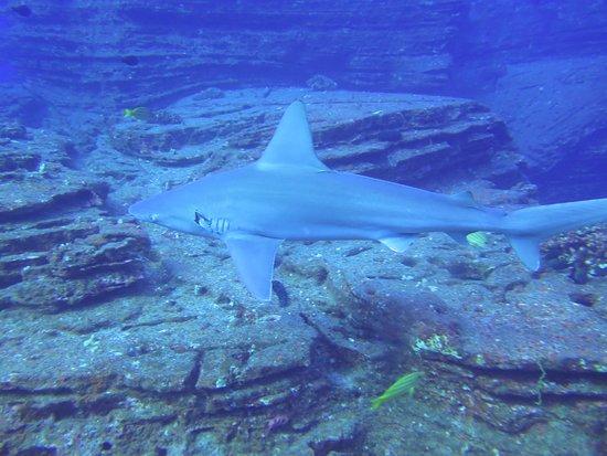 Explore Kauai Scuba: one of the MANY sharks we saw!!!