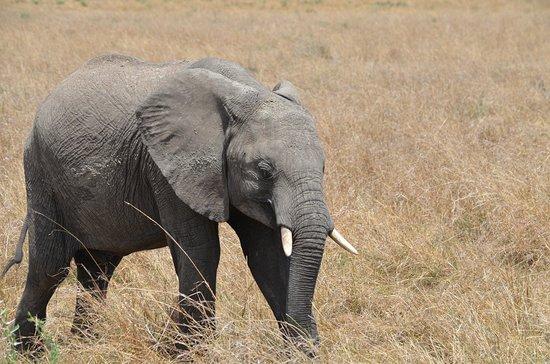 Savannah Hippo Safaris: kleiner Elefant