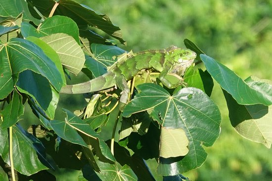 arboreal Green Iguana