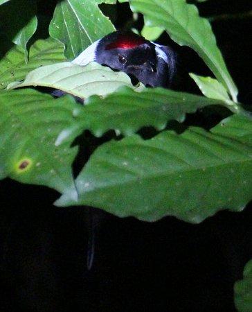 Monteverde, Costa Rica: Long-tailed Manakin toledo o manakin